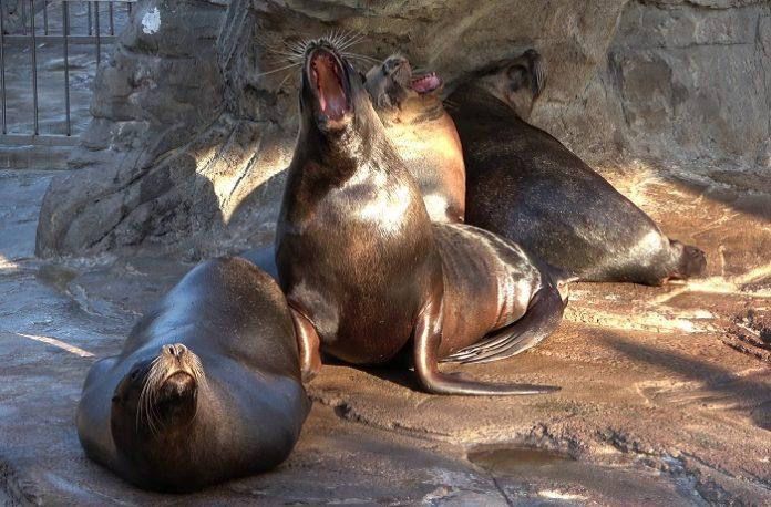 Descubren que los leones marinos también bostezan por ansiedad