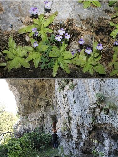 La Universidad de Alicante identifica dos especies inéditas de plantas carnívoras